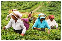 サングマ茶園の画像1